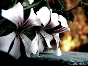 dark_flowers_by_sivanchen-d349lql
